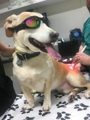 Peachtree Hills Animal Hospital - Laser Therapy